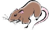 rat (zi)